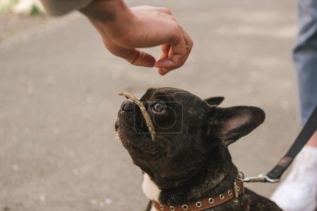 cropped view of girl putting stick on cute french bulldog