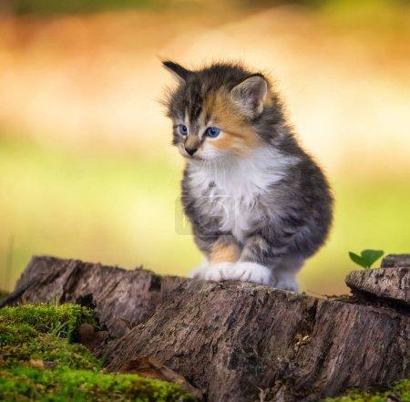Foto de Peque � o kitten tricolor sentado en madera trozo en el jardín. - Imagen libre de derechos