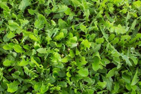 Green grass close-up, greenery texture.