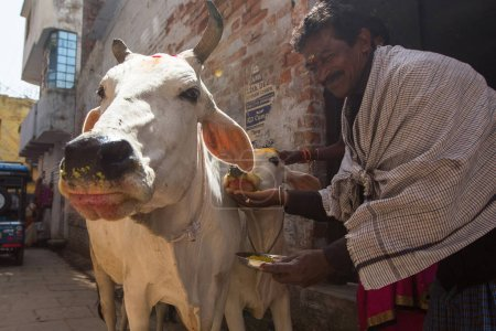 VARANASI, INDIA - MAR 26, 2018: Cow near the shore of the Ganges. Cows in India are considered sacred animals.
