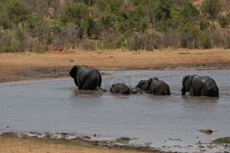 A big elephant family in africa is walking around ...