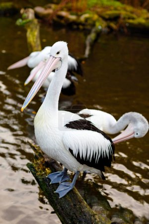 Photo for Beautiful white, grey big pelicans in bird zoo park in Walsrode, Germany. Interesting park for families, children and school excursion trips - Royalty Free Image