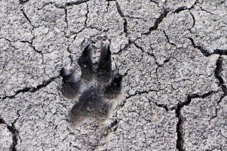 Photo pour Empreinte de loup sur la terre fissurée, nature sauvage - image libre de droit