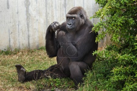 Western lowland gorilla sitting on grass and looking at camera