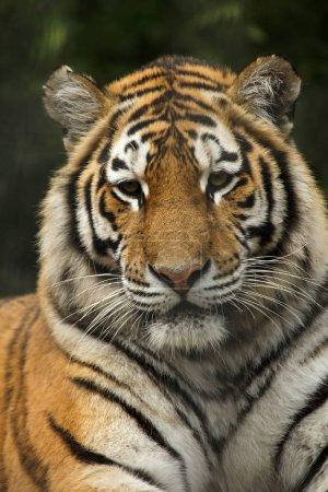 Сибирский тигр (Panthera tigris altaica), также известный как амурский тигр .