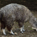Alpaca (Vicugna pacos). Domesticated animal....