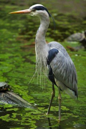 Photo pour Héron gris (Ardea cinerea). Oiseaux sauvages . - image libre de droit