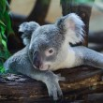 Queensland koala (Phascolarctos cinereus adustus)....