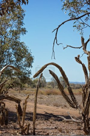 Invasive prickly pear infestation damaging the environment around the gem fields in central Queensland Australia