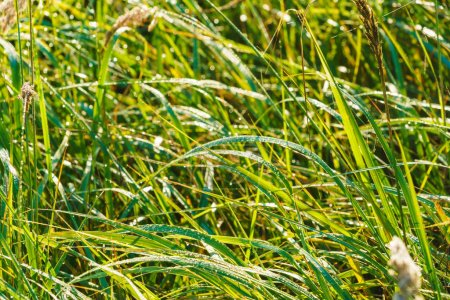 Photo for Green fresh grass meadow covered with drops of morning dew - Royalty Free Image