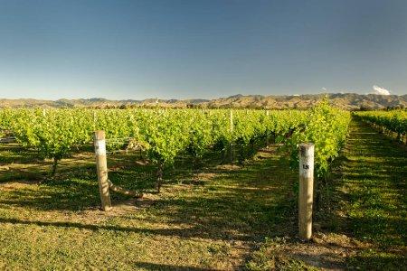 Vineyard, winery New Zealand, typical Marlborough ...