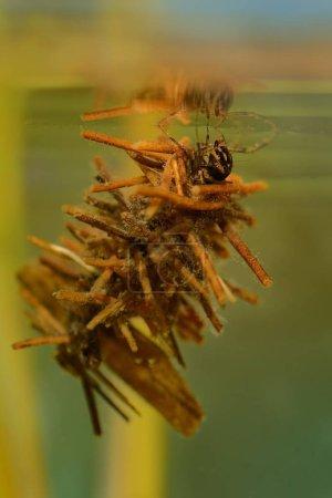 Kaddisfliegenlarven