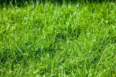 Photo for Selective focus of green lawn on summer day background - Royalty Free Image