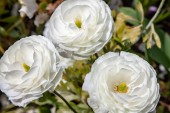 close up view of beautiful white ranunculus flowers