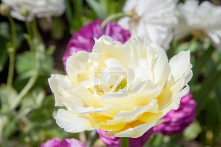 close up view of beautiful white ranunculus flower