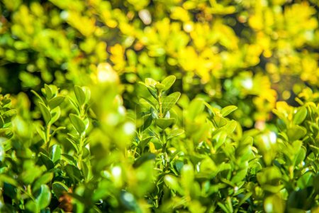 close up view of boxwood bushes with green foliage and sunlight background