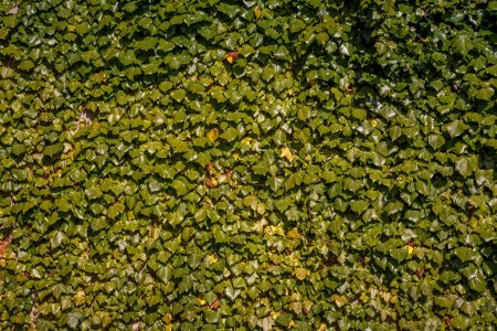full frame of green ivy leaves background