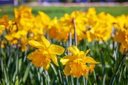 close up view of beautiful yellow narcissus flowers