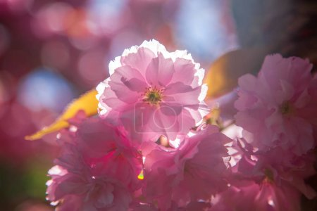 close up view of beautiful cherry tree blossom and sunlight backdrop