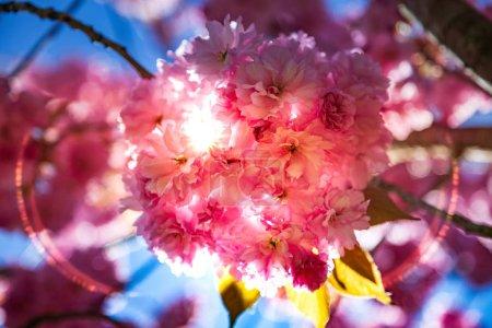 Photo pour Bouchent la vue de sakura belle arbre fleur et du soleil toile - image libre de droit