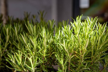 Photo for Close up view of arranged green rosemary plants - Royalty Free Image