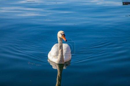 Photo pour Scène tranquille avec beau cygne blanc flottant sur l'eau calme - image libre de droit