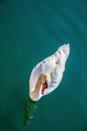 Photo pour Vue de dessus du beau cygne blanc flottant sur l'eau calme - image libre de droit