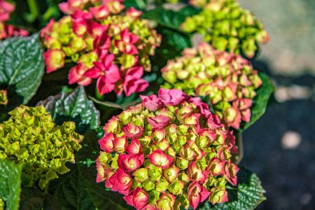 Close up view of hortensia flowers on blurred background