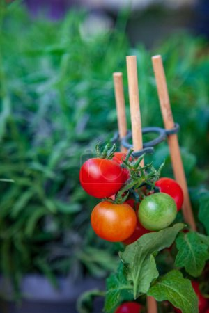 Photo for Selective focus of ripe and ripe on wooden stick tomatoes - Royalty Free Image