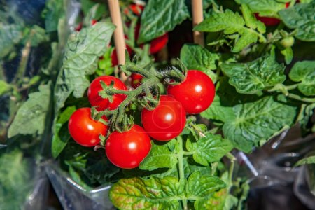 Photo for Close up image of ripe tomatoes on wooden sticks with green leaves - Royalty Free Image