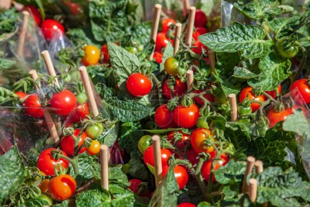 close up image of ripe and unripe tomatoes on wooden sticks