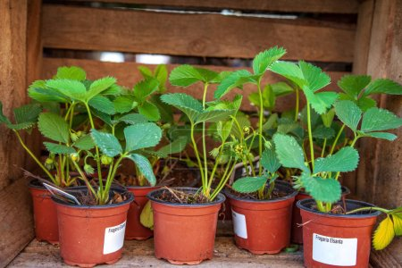 potted strawberry plants with green leaves in wooden box