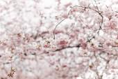 """Постер, картина, фотообои """"выборочный фокус красивое вишневое дерево цвести"""""""