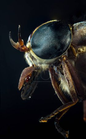Entomology macro detailed closeup large blue horsefly eyes