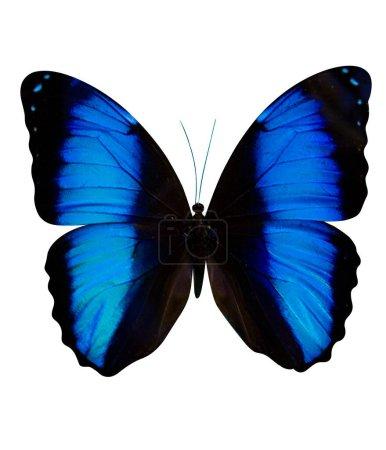 Photo pour Papillon Morpho Didius isolé sur fond blanc - image libre de droit