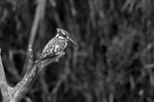 Pied kingfisher perched on dead branch in black and white in Kruger National park, South Africa ; Specie Ceryle rudis family of Alcedinidae