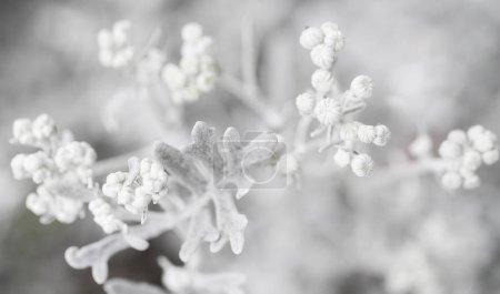 Tropical White Plant Silverdust