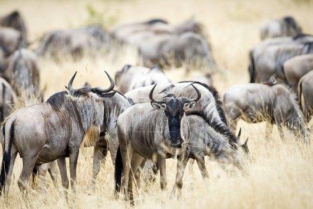 Herd of wild wildebeest migrating in East Africa