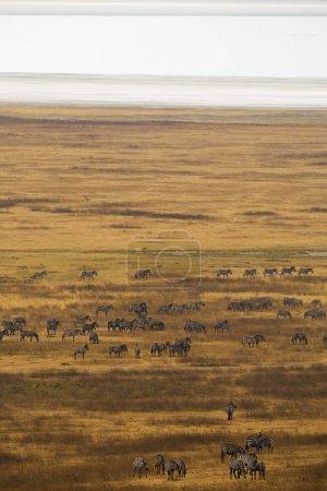 Herd of wild zebras in Africa