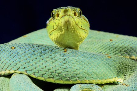 The Amazonian palmviper (Bothrops bilineatus bilineatus) is a cryptic viper species found in the Amazon.
