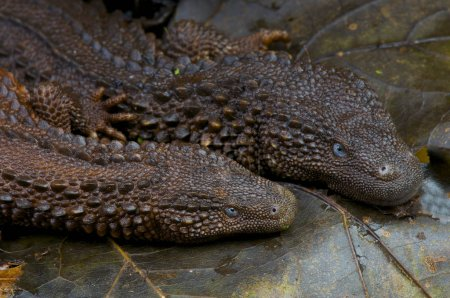 The Borneo earless monitor pair (Lanthanotus borneensis) is one of the rarest and most enigmatic of al lizards. They are found on the island of Borneo.