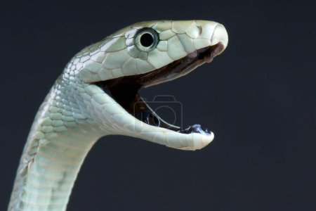 The Black mamba (Dendroaspis polylepis) is the lar...