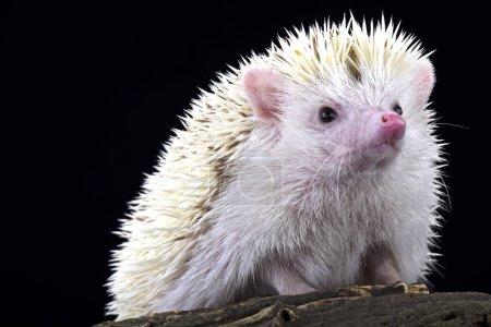 Albino Pygmy hedgehog (Atelerix albiventris)
