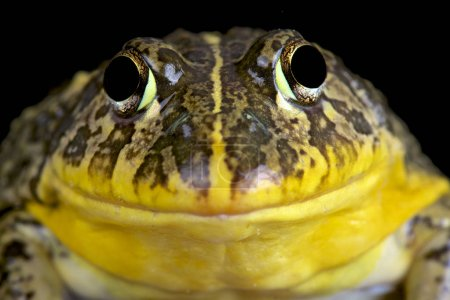 Edible bullfrog (Pyxicephalus edulis)