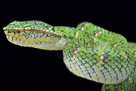 """Temple viper (Tropidolaemus wagleri """"lowland"""")"""