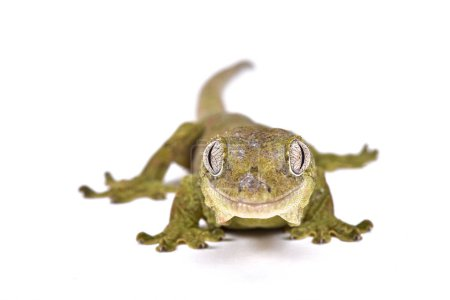 Mniarogekko chahoua, Mossy New Caledonian gecko, New Caledonia. Previously Rhacodactylus.