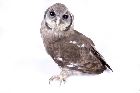Verreaux's eagle-owl (Bubo lacteus) is giant owl species found across Africa.