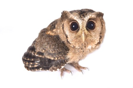The Indian scops owl (Otus bakkamoena) is a small owl species found in Asia.