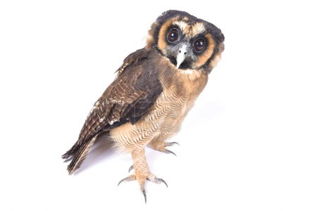 The Brown wood owl (Strix leptogrammica) is a large bird of prey species found in Southeast Asia.