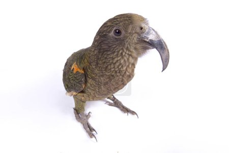 The Kea (Nestor notabilis) is a large, highly intelligent, parrot species endemic to New Zealand.